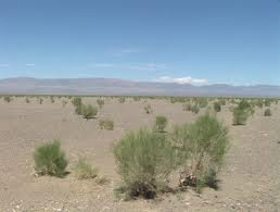 Desert plant that helps keep the sand and chemicals from blowing around